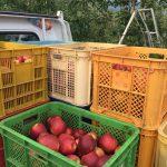 りんご通販
