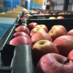 りんごの選別