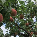 桃の最盛期