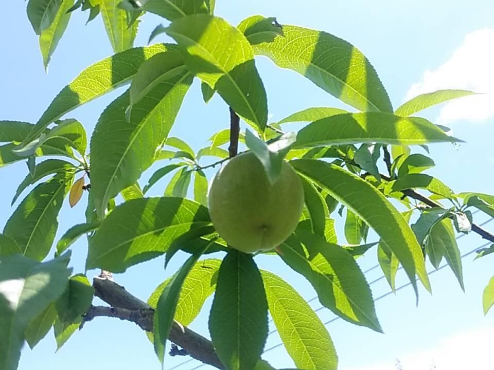 す桃も桃も桃のうち
