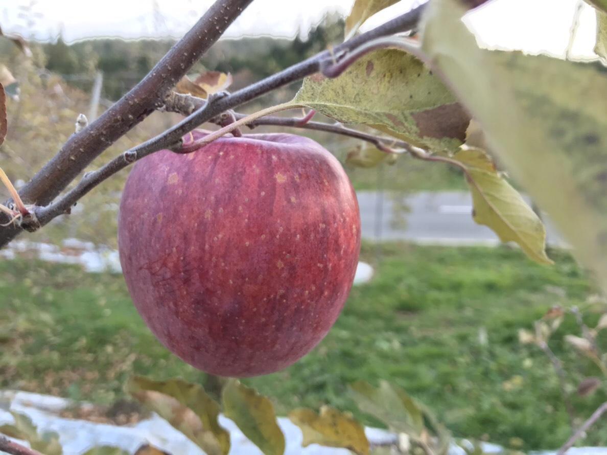 お歳暮にりんごを!